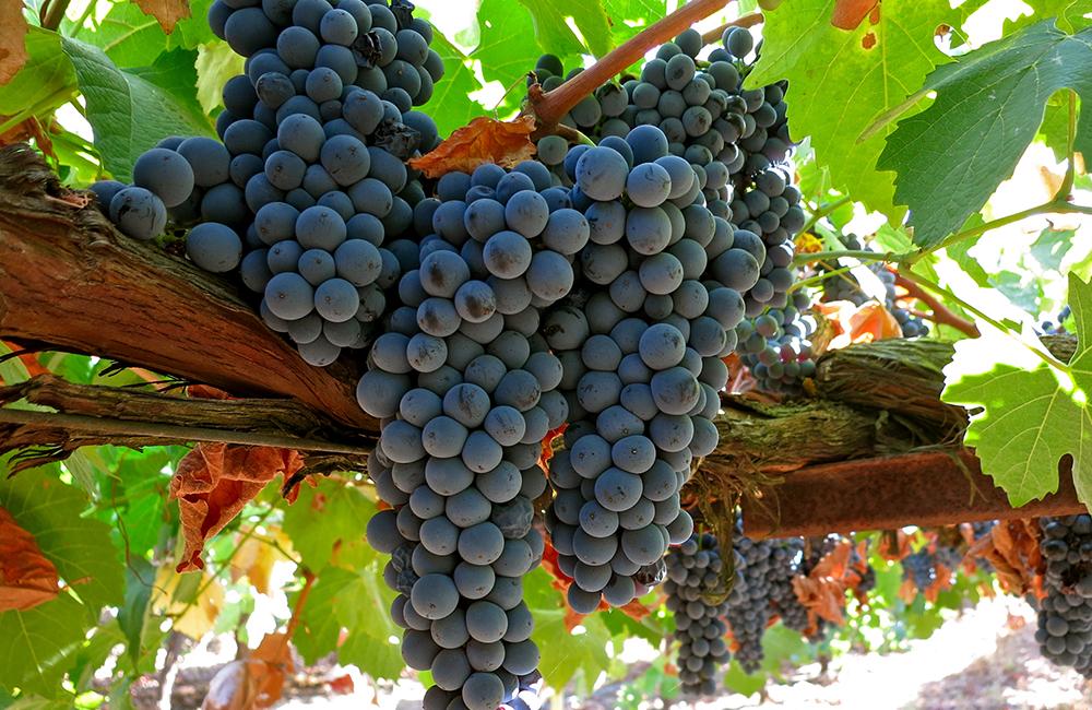 Fresh white grapes on vines